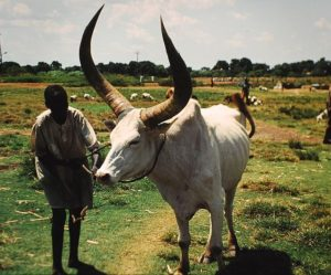 723px-Cattle_Wau_Sudan