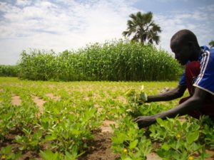Small-scale_farmers_increase_production_(sudan)