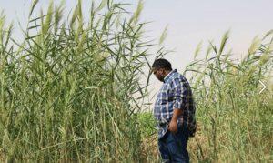 Wheat_plantation,_Northern_sudan,_Karima